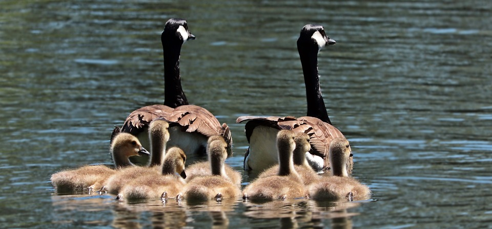 geese-2494952_960_720