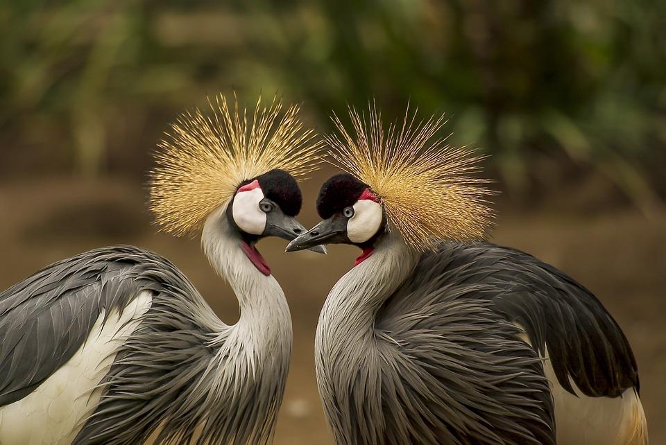 grey-crowned-crane-540657_960_720