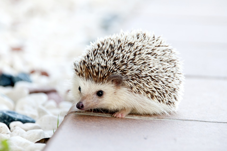 hedgehog-468228_960_720