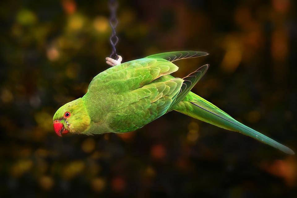 ring-necked-parakeet-3652668_960_720